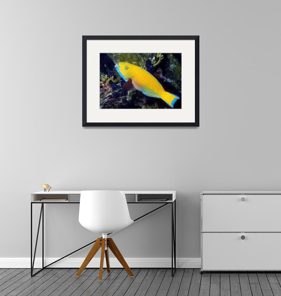 """""""Yellow Parrotfish""""  (1993) by JoaoPonces"""