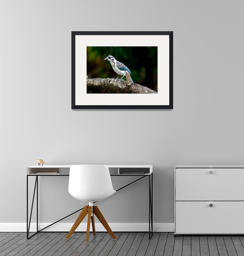 """""""Magpie Jay""""  (2012) by paulschlindweinphotos"""