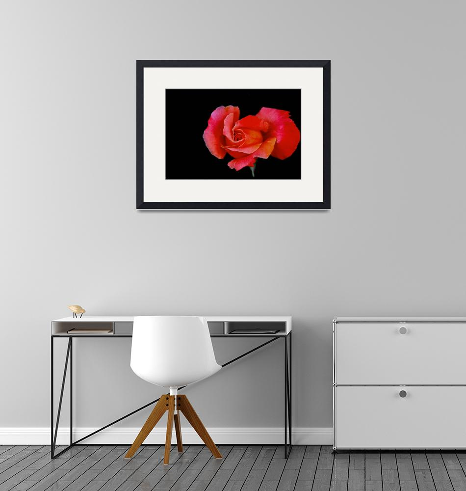"""REDROSE on BLACK""  (2010) by Justincheek"