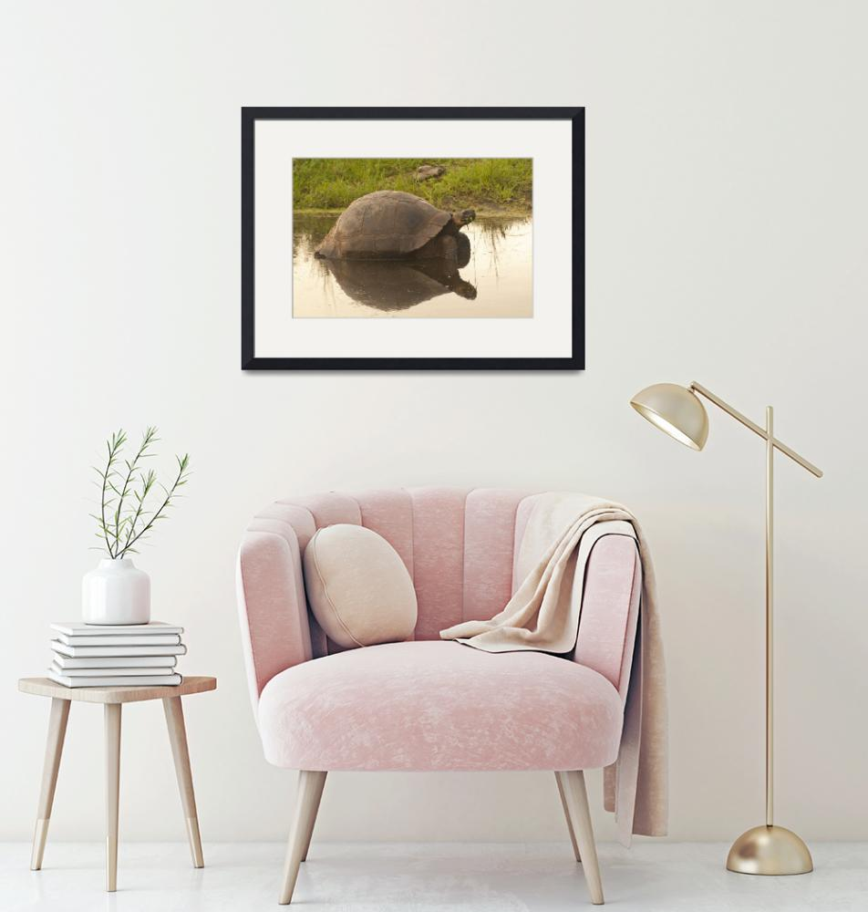 """""""Galapagos tortoise in the Highlands""""  (2010) by SederquistPhotography"""
