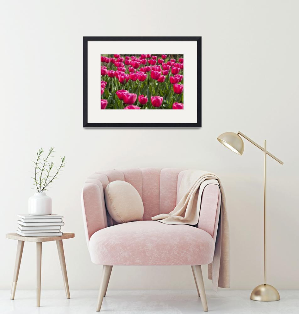 """""""Pink Tulips""""  (2010) by lillisphotography"""