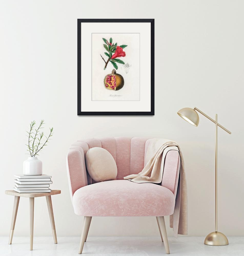 """""""Vintage Botanical The pomegranate""""  by FineArtClassics"""