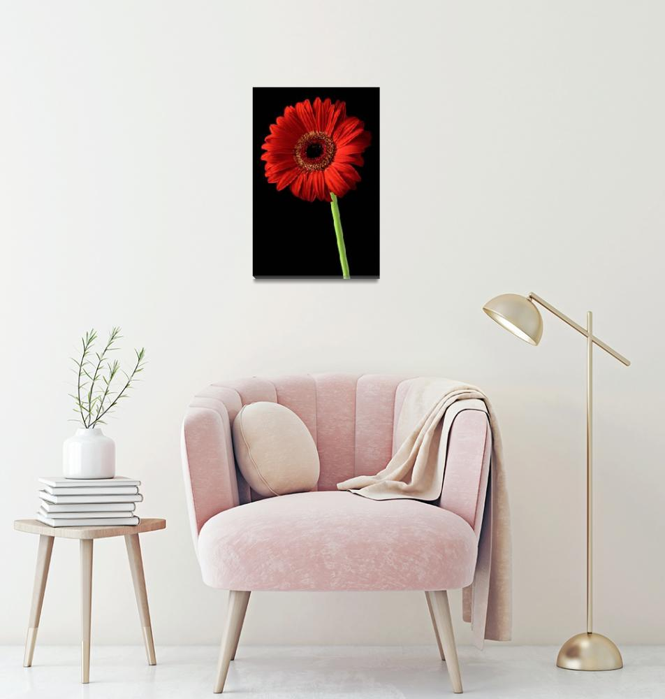 """Red gerber daisy flower on black background""  by Morganhowarth"