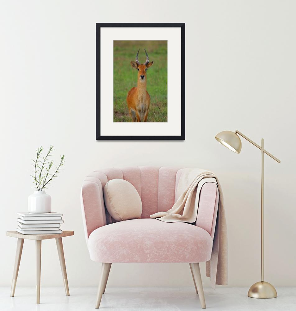 """Posing Reedbuck""  (2009) by Andrea_Donaldson"