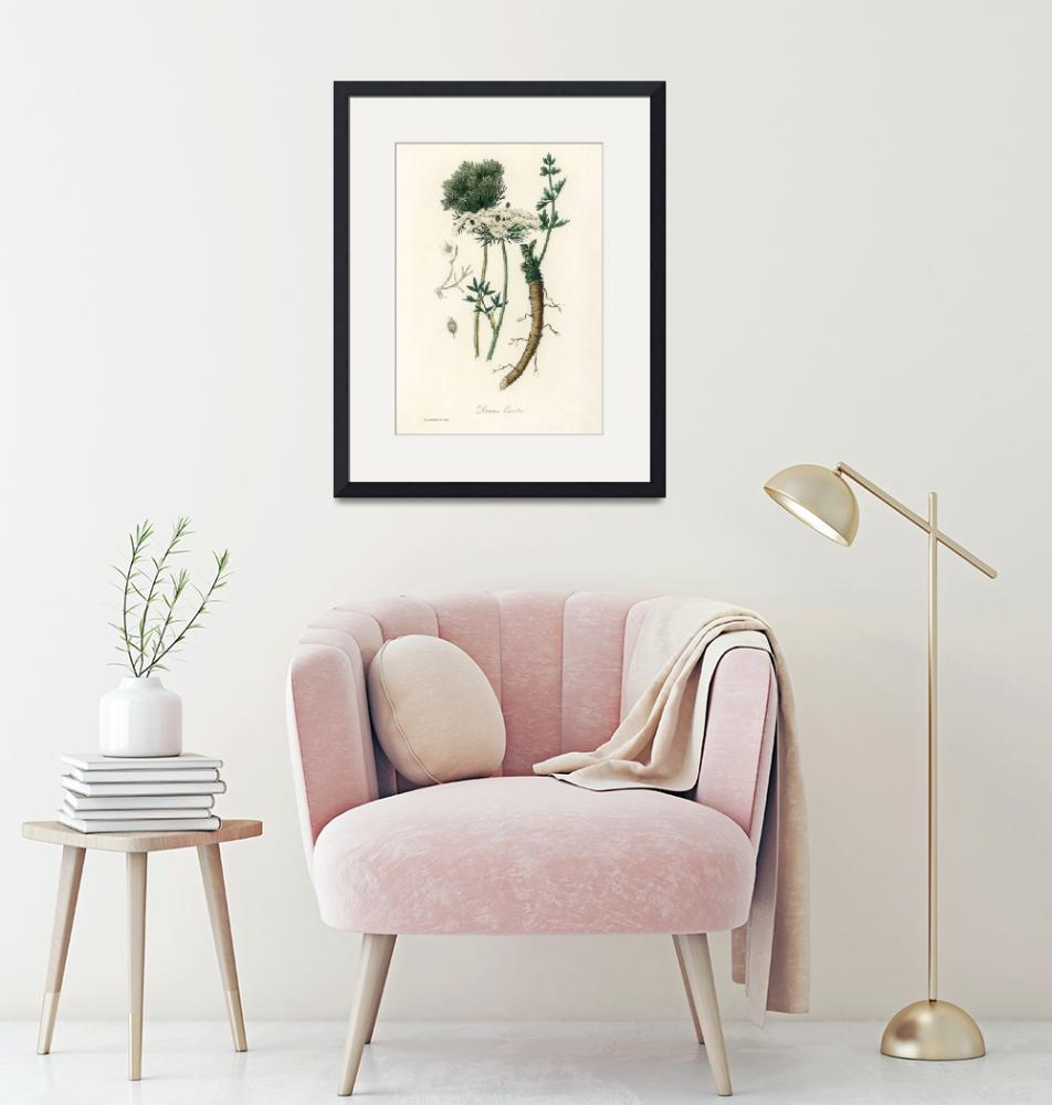 """""""Vintage Botanical Wild carrot""""  by FineArtClassics"""
