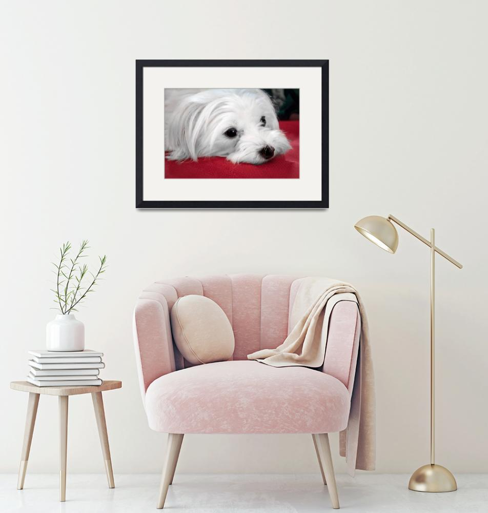 """""""Maltese Dog Looking Soulful""""  (2017) by MotherNature1"""
