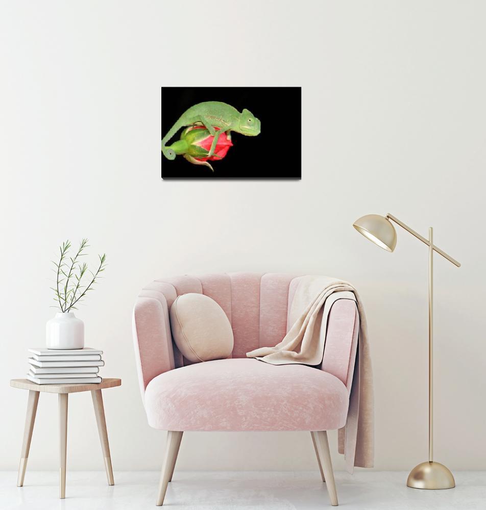 """veiled chameleon on a rose""  (2009) by paulhalfmann"