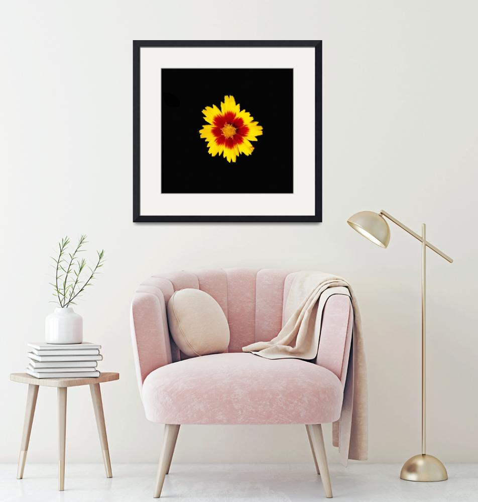"""""""Bright Coreopsis flower on a dramatic black backgr""""  (2018) by NormaStampSunnyDaze"""