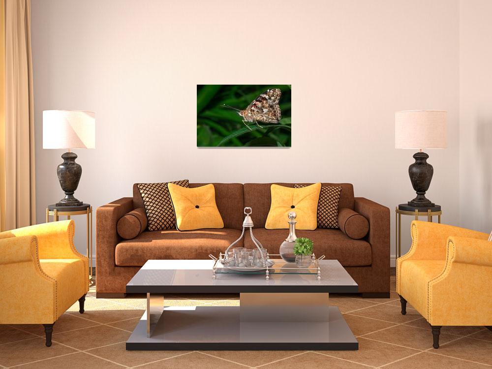 """Common Buckeye (Junonia coenia) butterfly""  (2012) by eyalna"