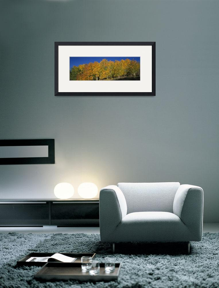 """""""Aspen trees in a forest&quot  by Panoramic_Images"""