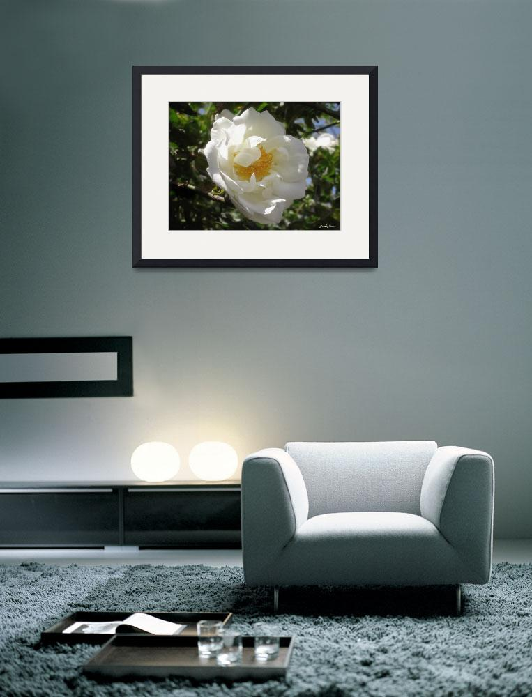 """Old Fashioned White Rose 2&quot  (2010) by ChristopherInMexico"