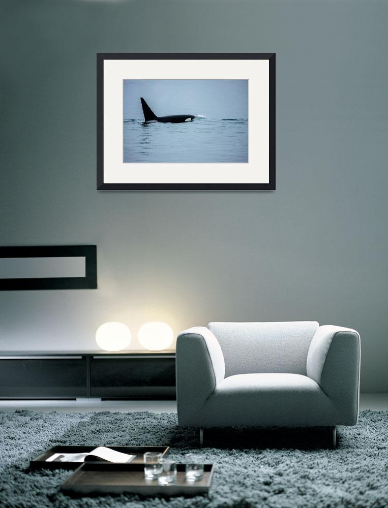 """""""Image ID# Whalen-090718-1584 - Young Bay Orca.jpg&quot  by JoshWhalen"""