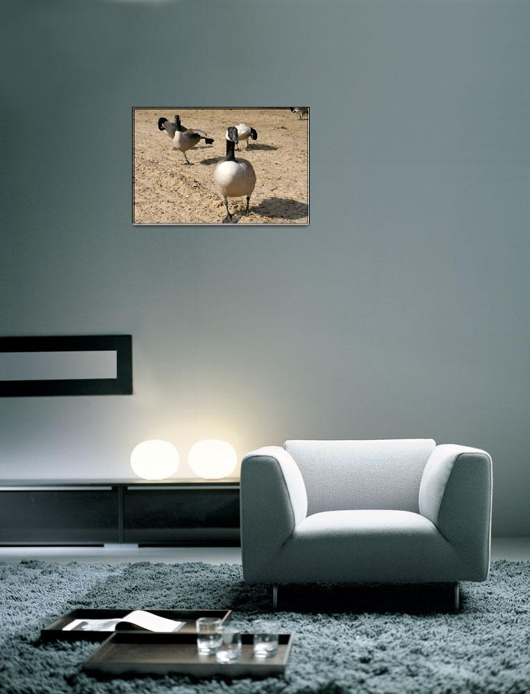 """""""Canadian geese look out&quot  by sherryswest"""
