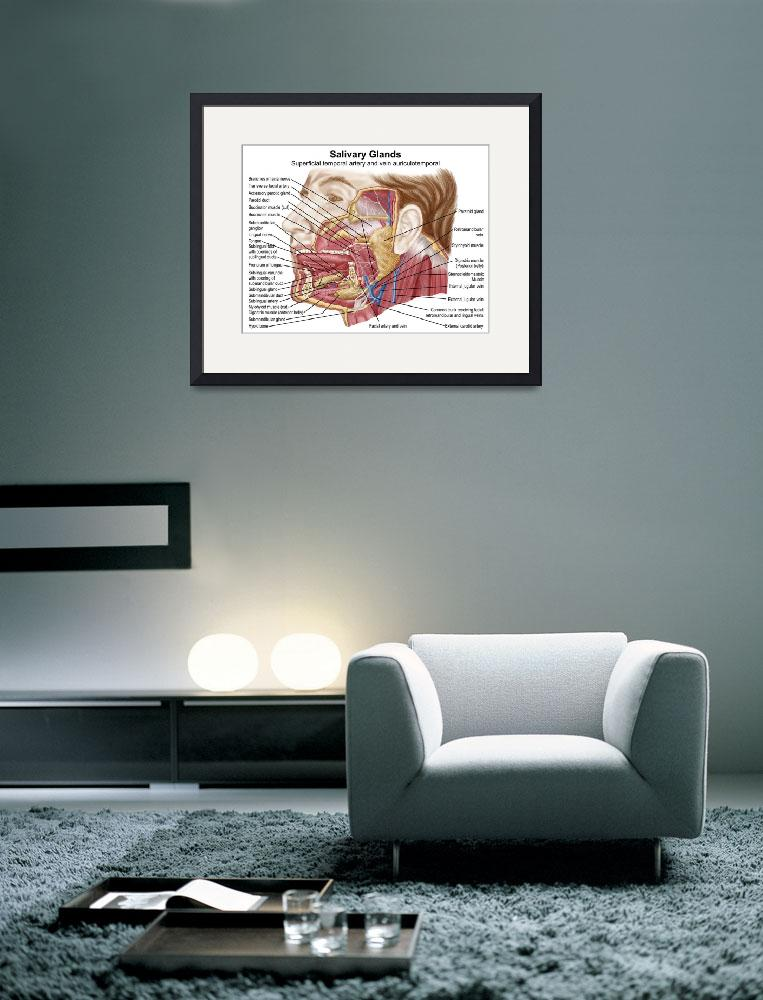 """""""Anatomy of human salivary glands&quot  by stocktrekimages"""