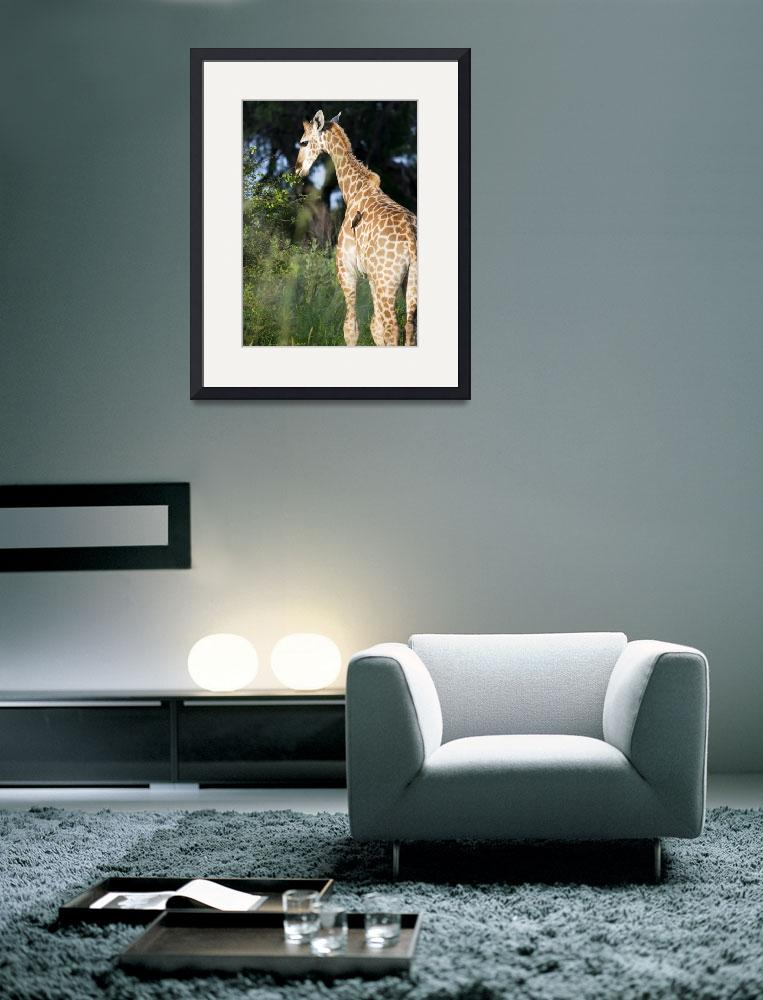 """""""Baby Giraffe&quot  (2008) by dianesmook"""