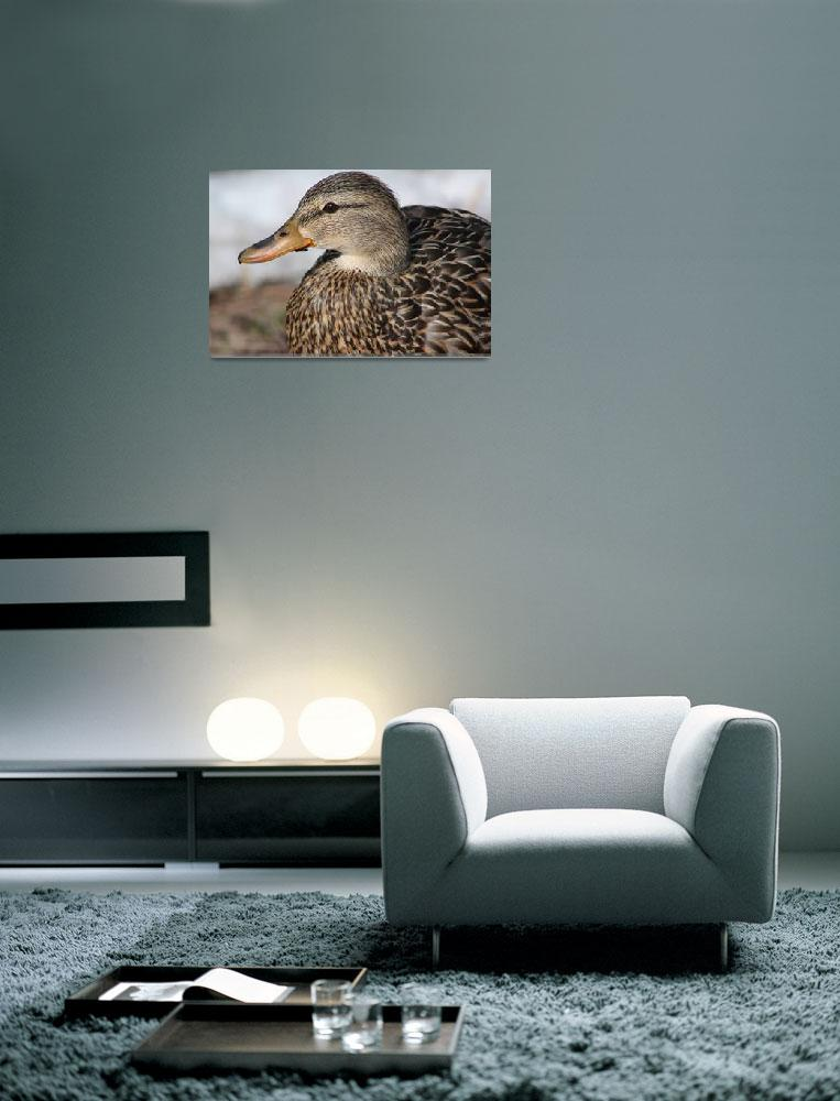 """Female mallard duck .................""  (2010) by Albertphoto"