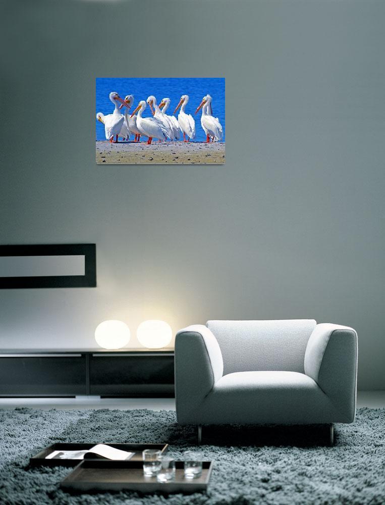 """American White Pelicans&quot  (2011) by shelshots"