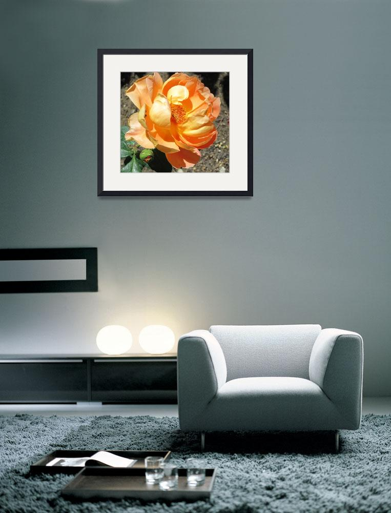 """""""Apricot rose&quot  (2015) by AnnWilliams"""