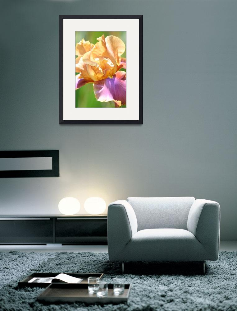 """""""Peach Iris&quot  (2007) by lcurty"""