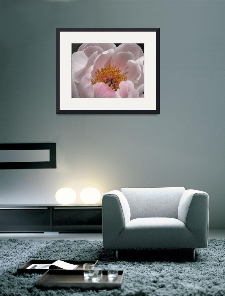 """Flowering Peony in Red and white""  (2008) by garthglazier"