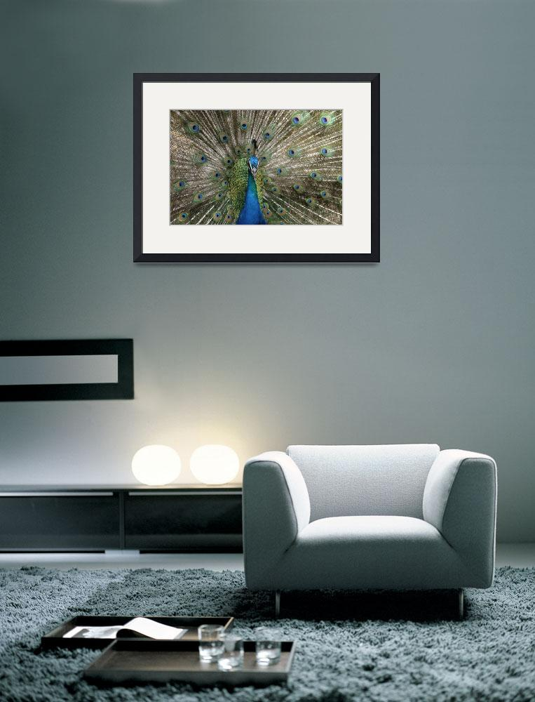 """""""Indian Blue Peacock Exotic Birds&quot  (2010) by sharonmau"""