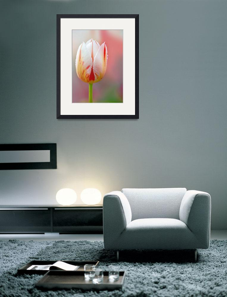 """White and Red Tulip""  (2014) by joanhan"