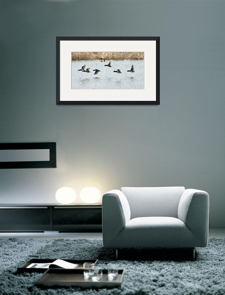 """Ring-necked, Lesser Scaup, Common Goldeneye&quot  by cameragal"