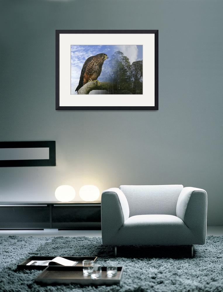 """""""New Zealand Falcon&quot  (2008) by ChrisWhitePhotography"""