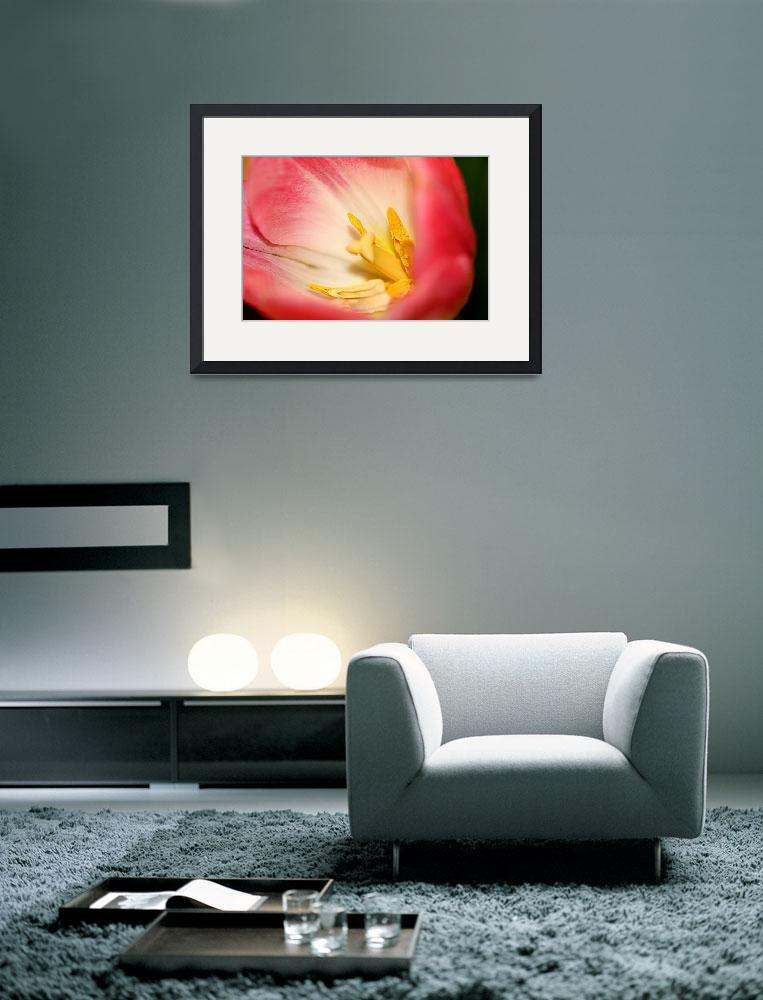 """""""Pink and Yellow Tulip""""  (2009) by rayjacque"""