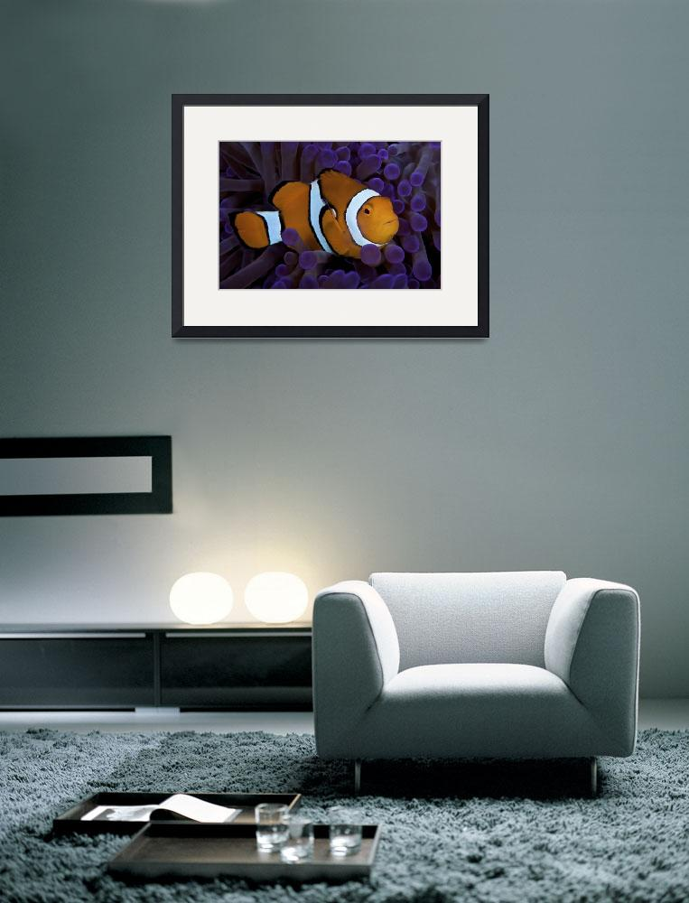 """""""False Ocellaris Clownfish in its host anemone, Pap&quot  by stocktrekimages"""
