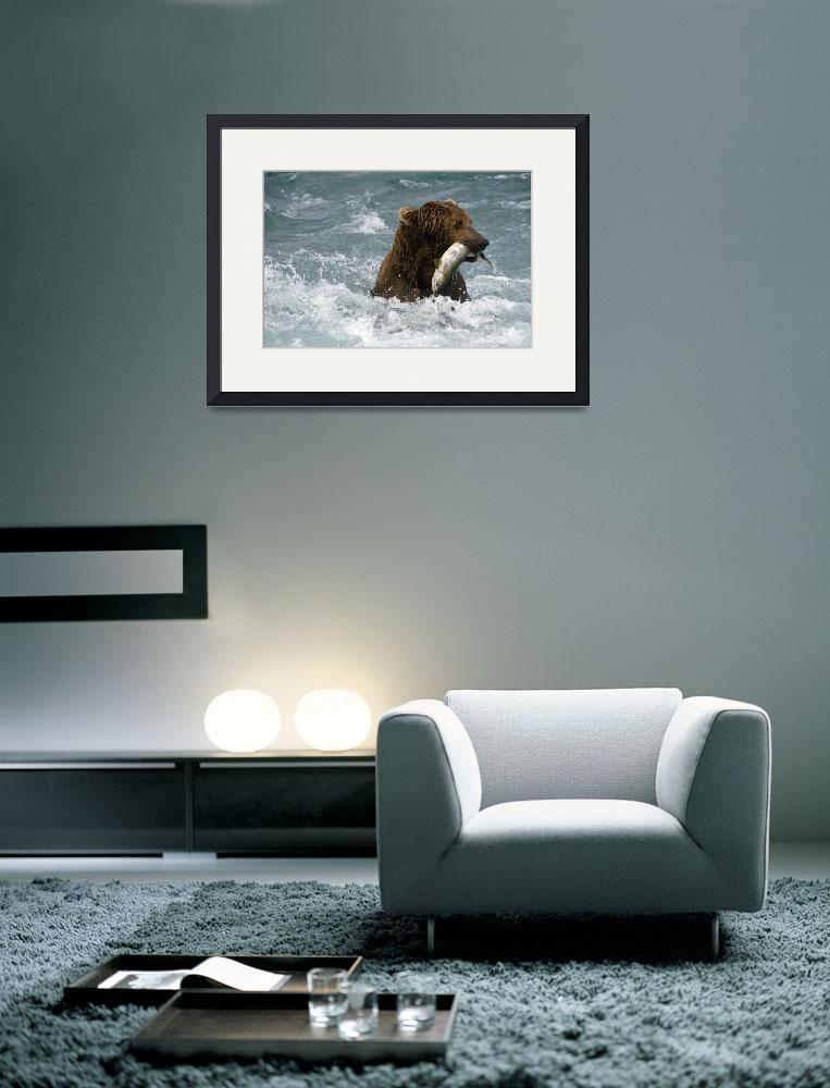 """Grizzly Fishing for Chum in McNeil River Alaska&quot  by DesignPics"