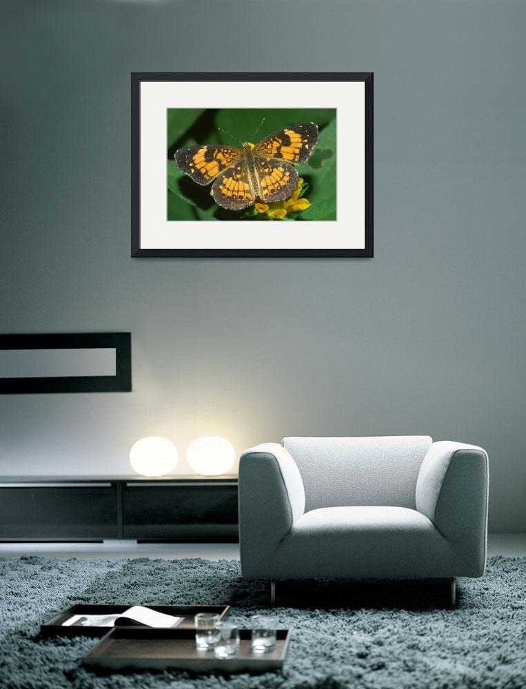 """""""Silvery Checkerspot Butterfly&quot  (2008) by NaturesGreat"""