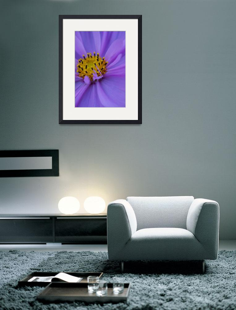 """""""lavender cosmos flower""""  (2009) by nyc-naturephoto"""