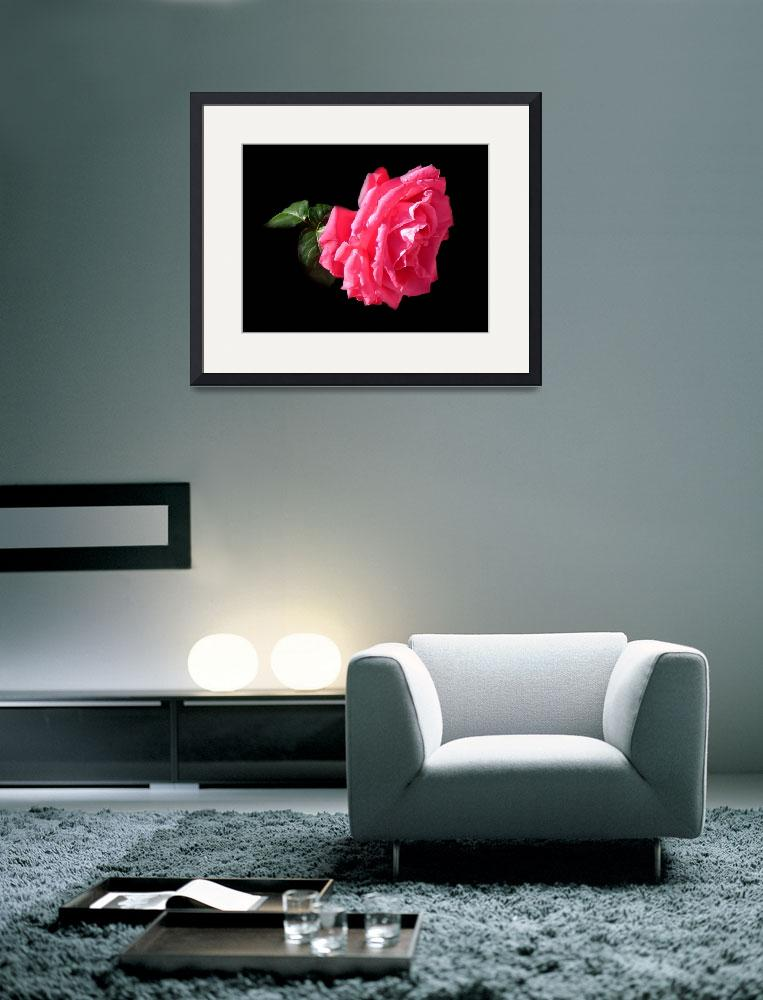 """Large Pink Rose Against Black.&quot  (2010) by Corbett"