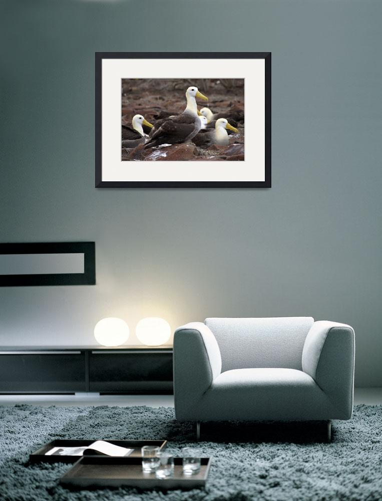 """""""Galapagos Cluster Of Albatrosses&quot  by MarilynsArt"""