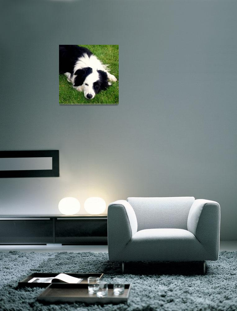 """""""Border Collie Dog""""  by mmersdesign"""