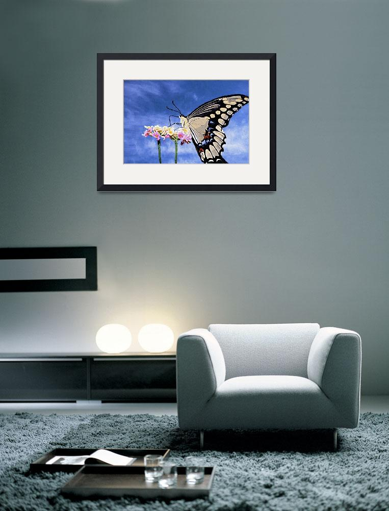 """""""BLACK Swallowtail Butterfly&quot  (2003) by frankreggio"""