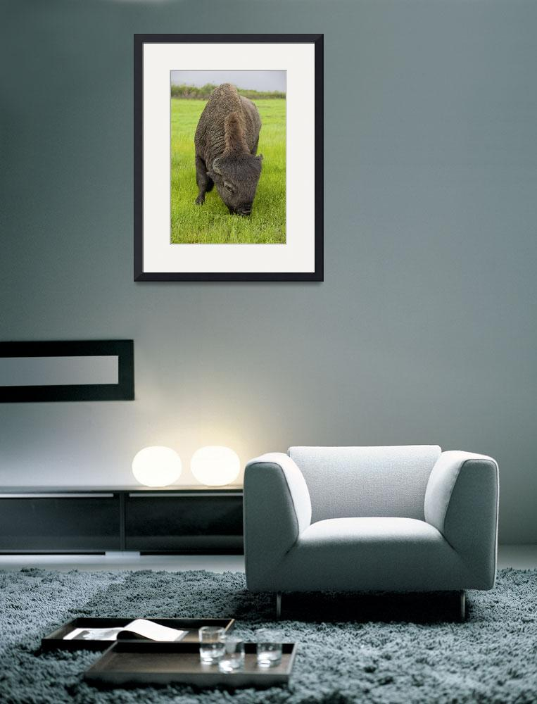 """Wood Bison Bull Grazing On Grasses, Southcentral A&quot  by DesignPics"