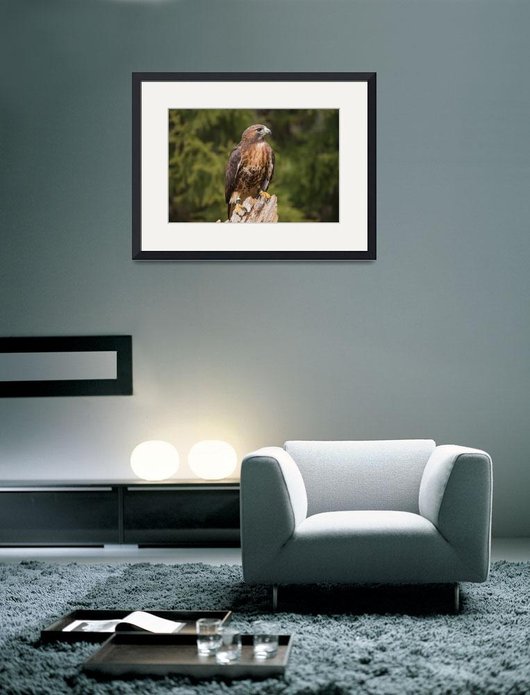 """""""Red-tailed Hawk against diffused green branches&quot  (2011) by tonymoran"""