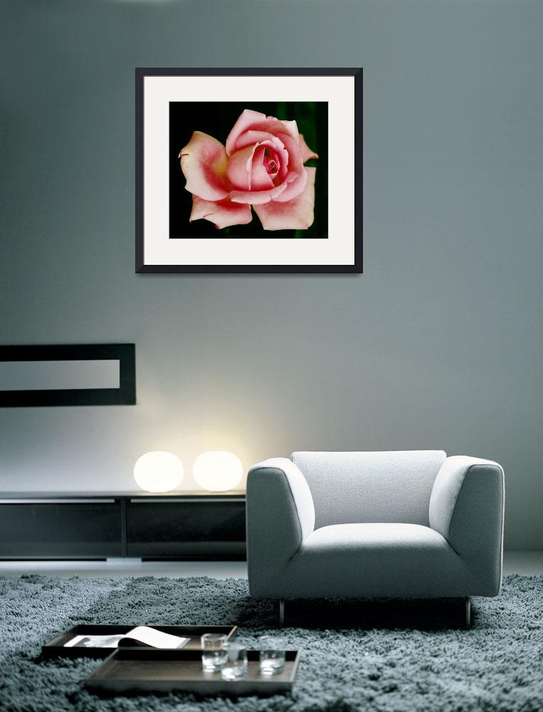 """""""Pink Rose Perfection&quot  (2006) by rayjacque"""