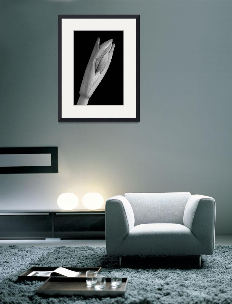 """""""Amaryllis Hippeastrum Starting to Bloom In Black a&quot  (2010) by lightningman"""