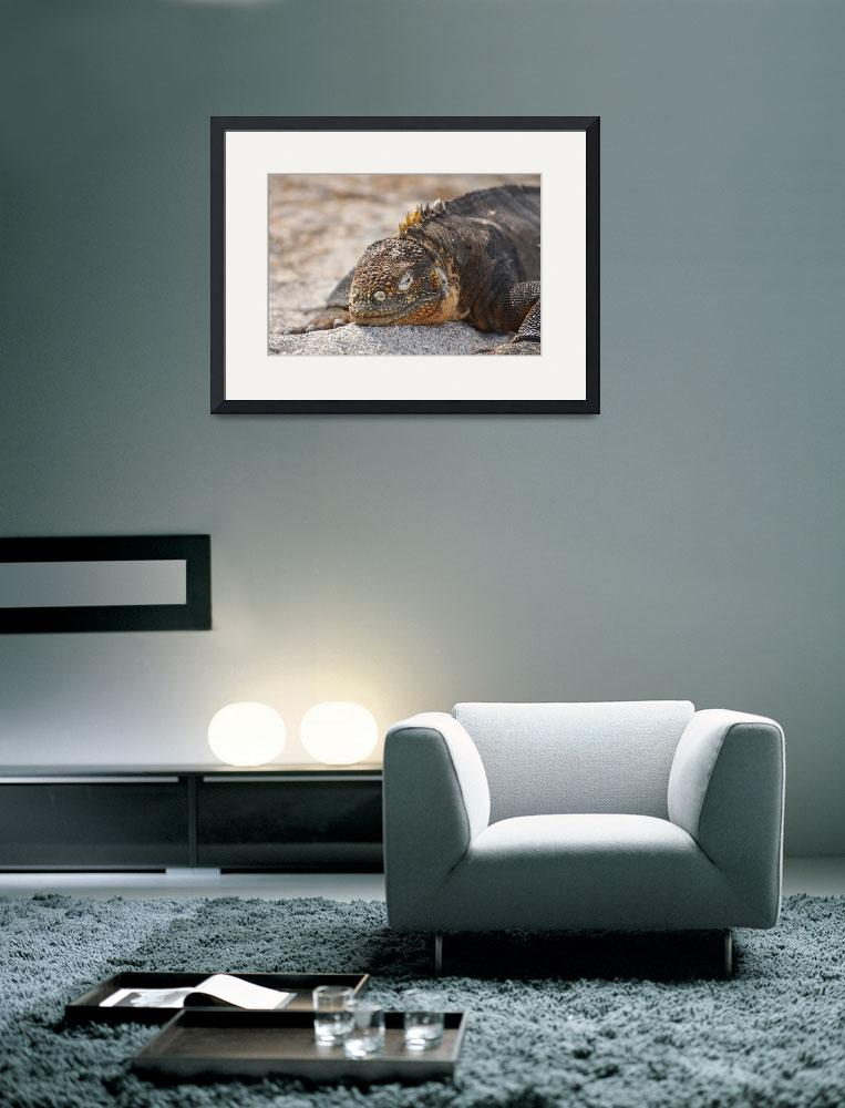 """""""Galapagos Land Iguana&quot  (2011) by placemarkphoto"""