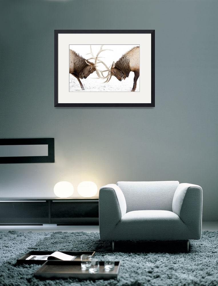"""""""A pair of large Rocky Mountain elk lock antlers an&quot  by DesignPics"""