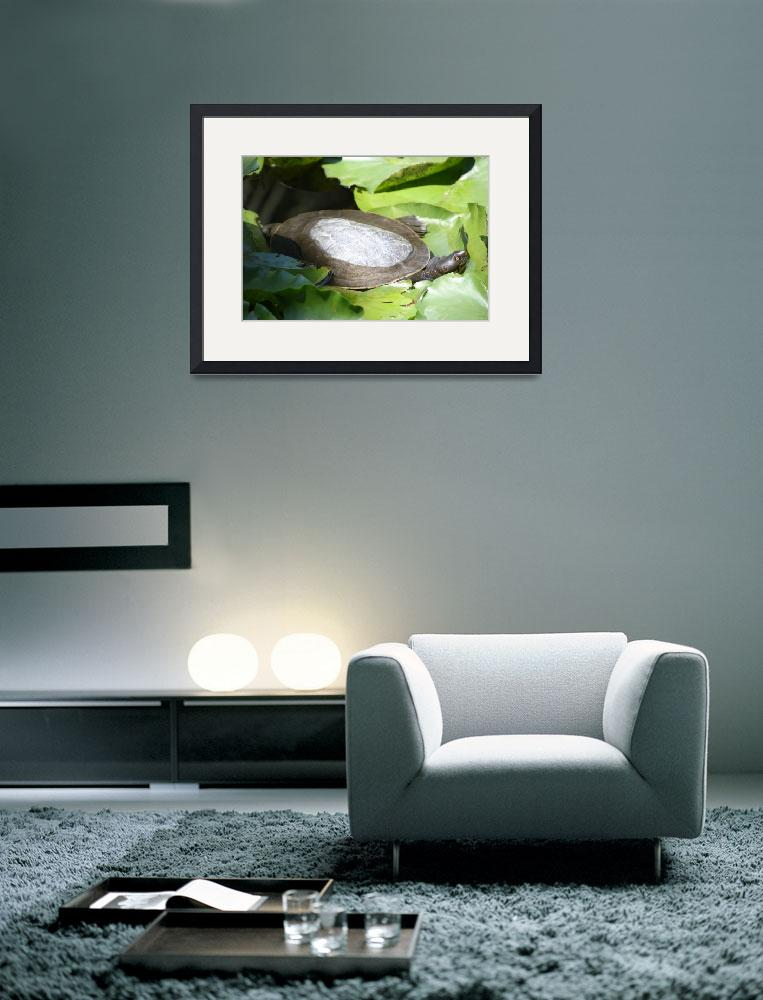 """""""Peeping Turtle""""  (2008) by becsphotography"""