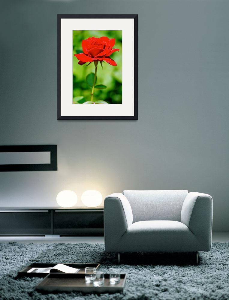 """""""Single Rose""""  (2009) by walter2824"""