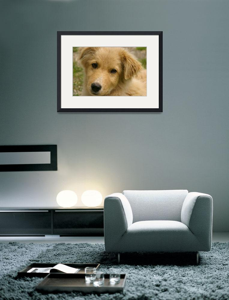"""Golden Retriever Puppy&quot  (2012) by tracilawphotography"