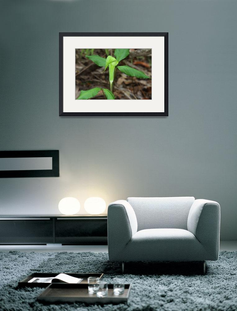 """""""Jack N the Pulpit Flower""""  by BABowenphotography"""