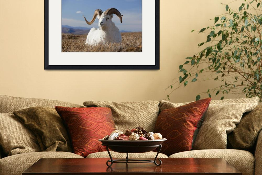 """Dall Sheep Ram Lies In A Meadow In Denali National&quot  by DesignPics"