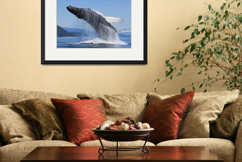"""Humpback Whale Breaches In Chatham Strait, Inside&quot  by DesignPics"