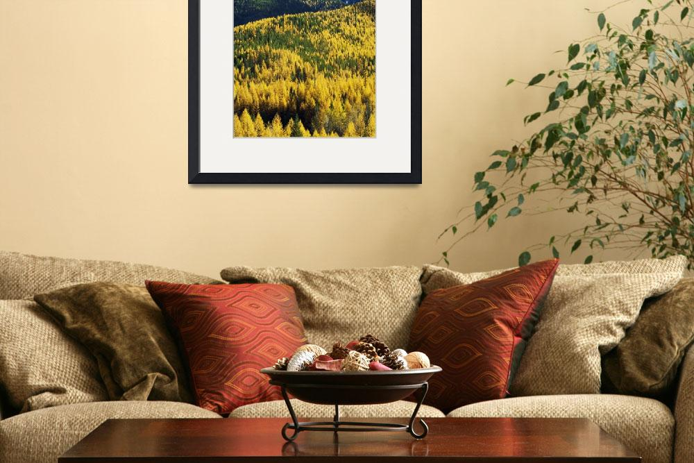 """""""Autumn color larch trees in pine tree forest""""  by Panoramic_Images"""